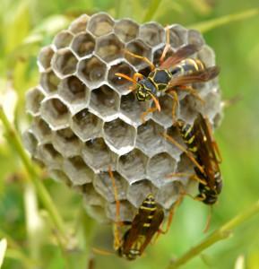 フタモンアシナガバチ巣-289x300